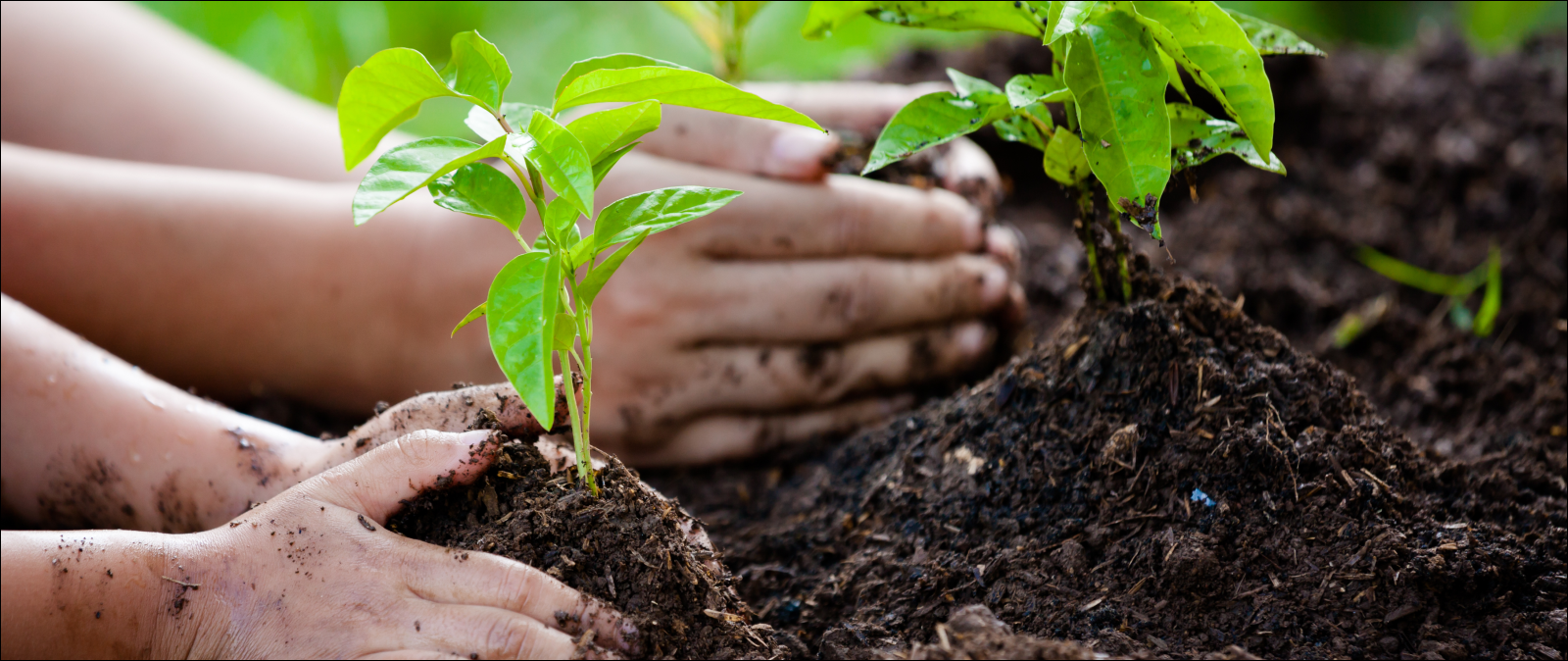 closeup of child and parent hands planting in garden