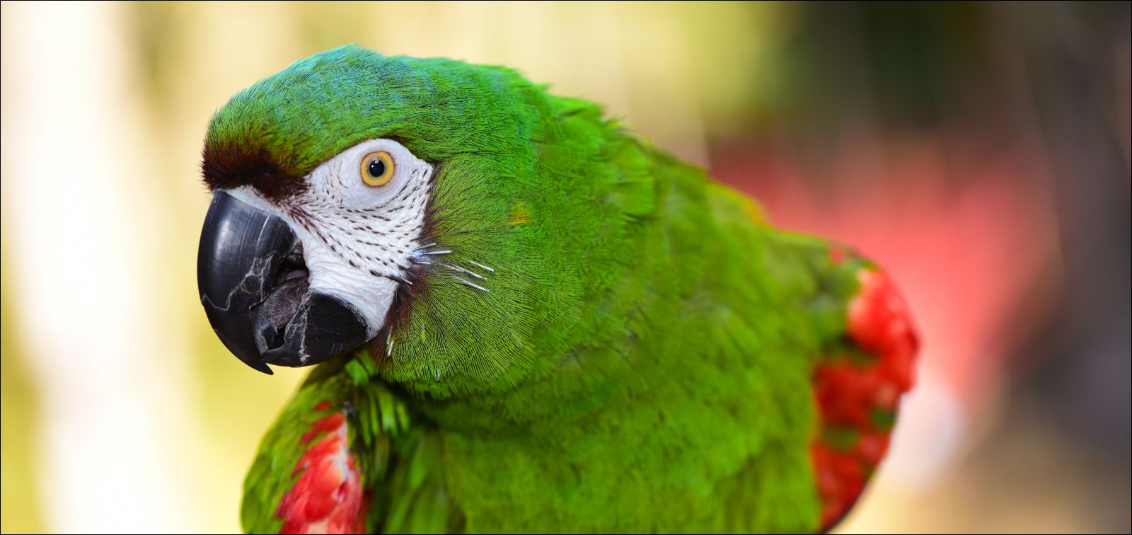 Severe Macaw parrot