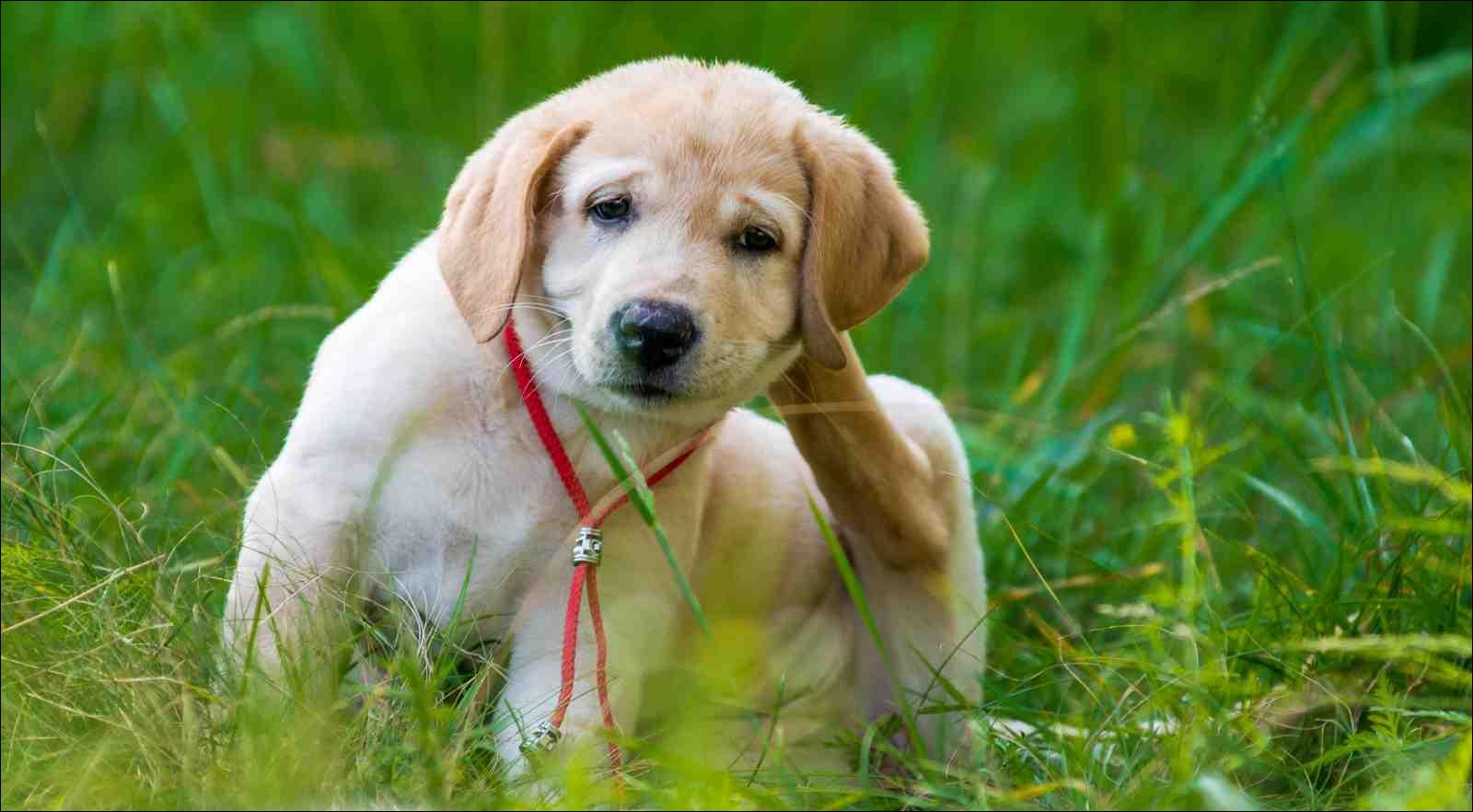 Puppy Retriever Scratching ear