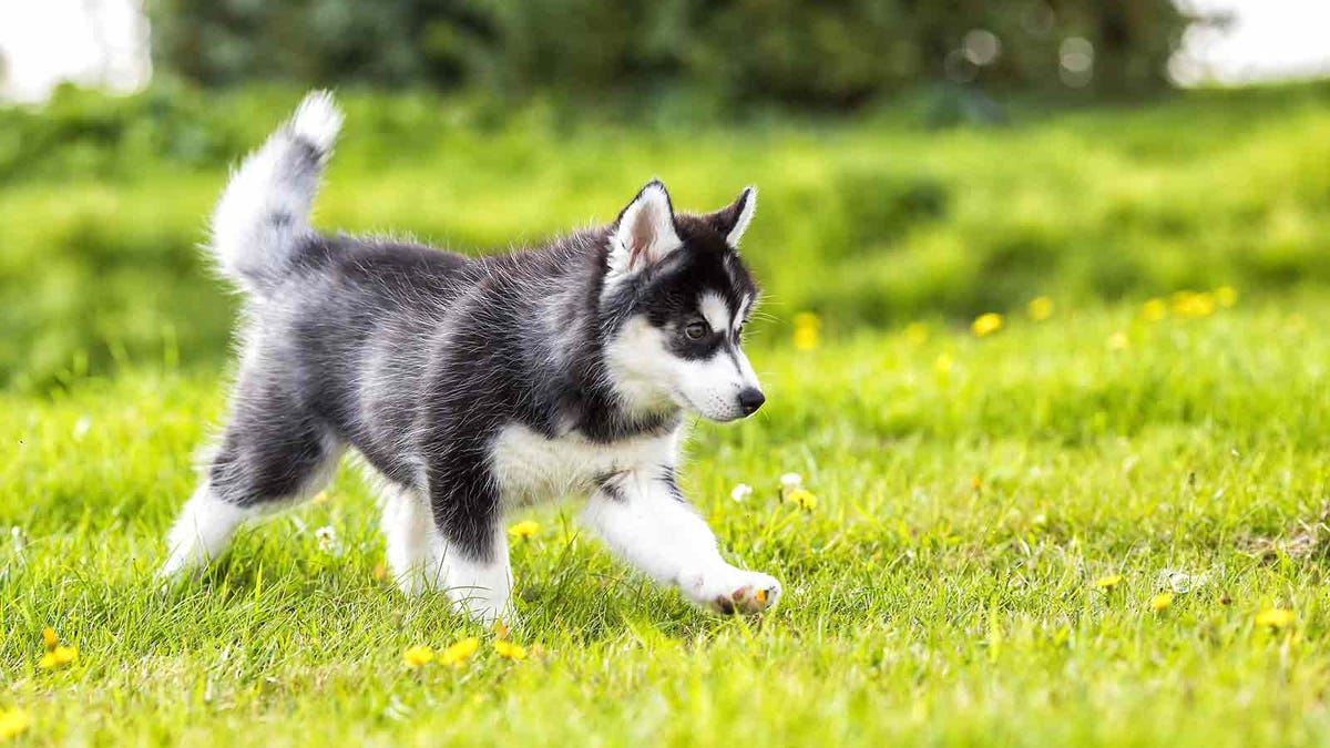 Puppy walking across a grassy backyard, on its way to use the bathroom