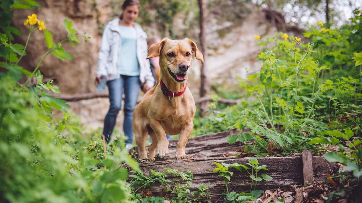 Woman walking with her dog in a heavily wooded area where ticks live