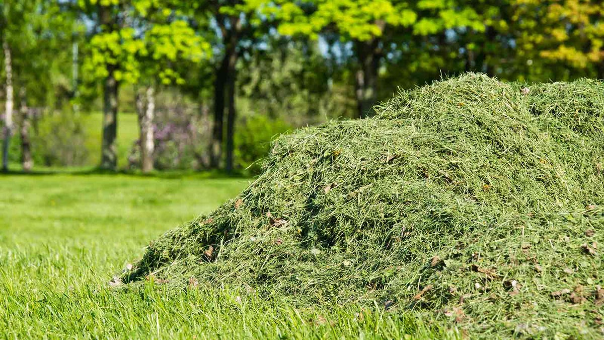 pile of grass clippings on a healthy green lawn
