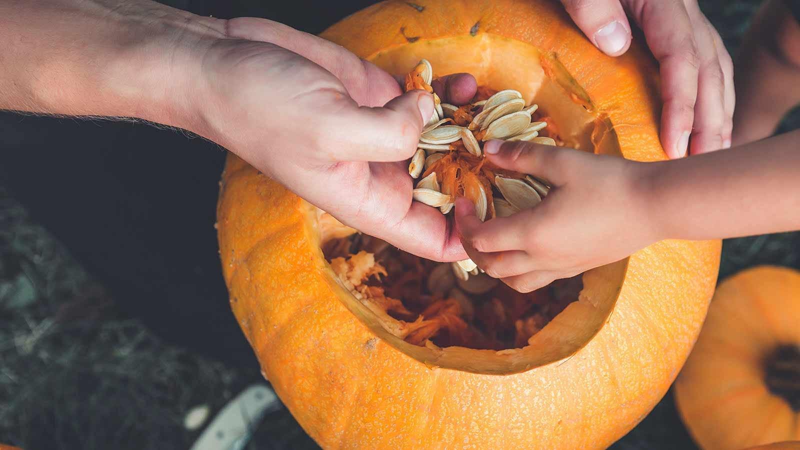 parent and child scooping pumpkin seeds out of a pumpkin