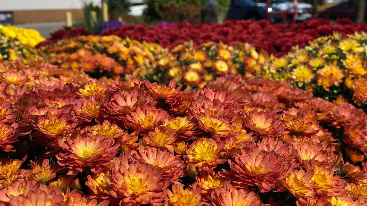 dozens of colorful mums on display outside a garden center