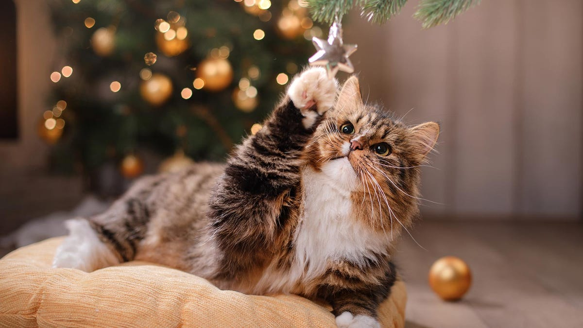 A fuzzy tan and black tabby cat reaching for a dangling star ornament with its paw.