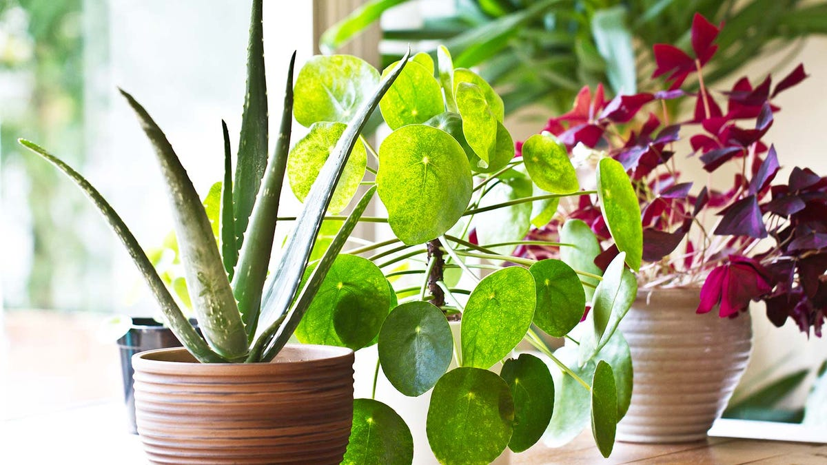 Three houseplants sitting on a table in front of a sunny window.