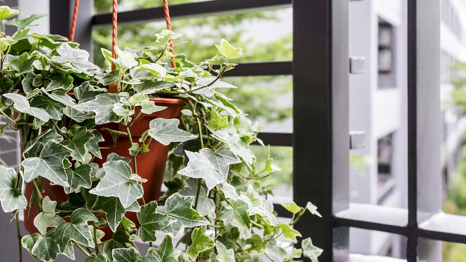 English ivy in a hanging pot.