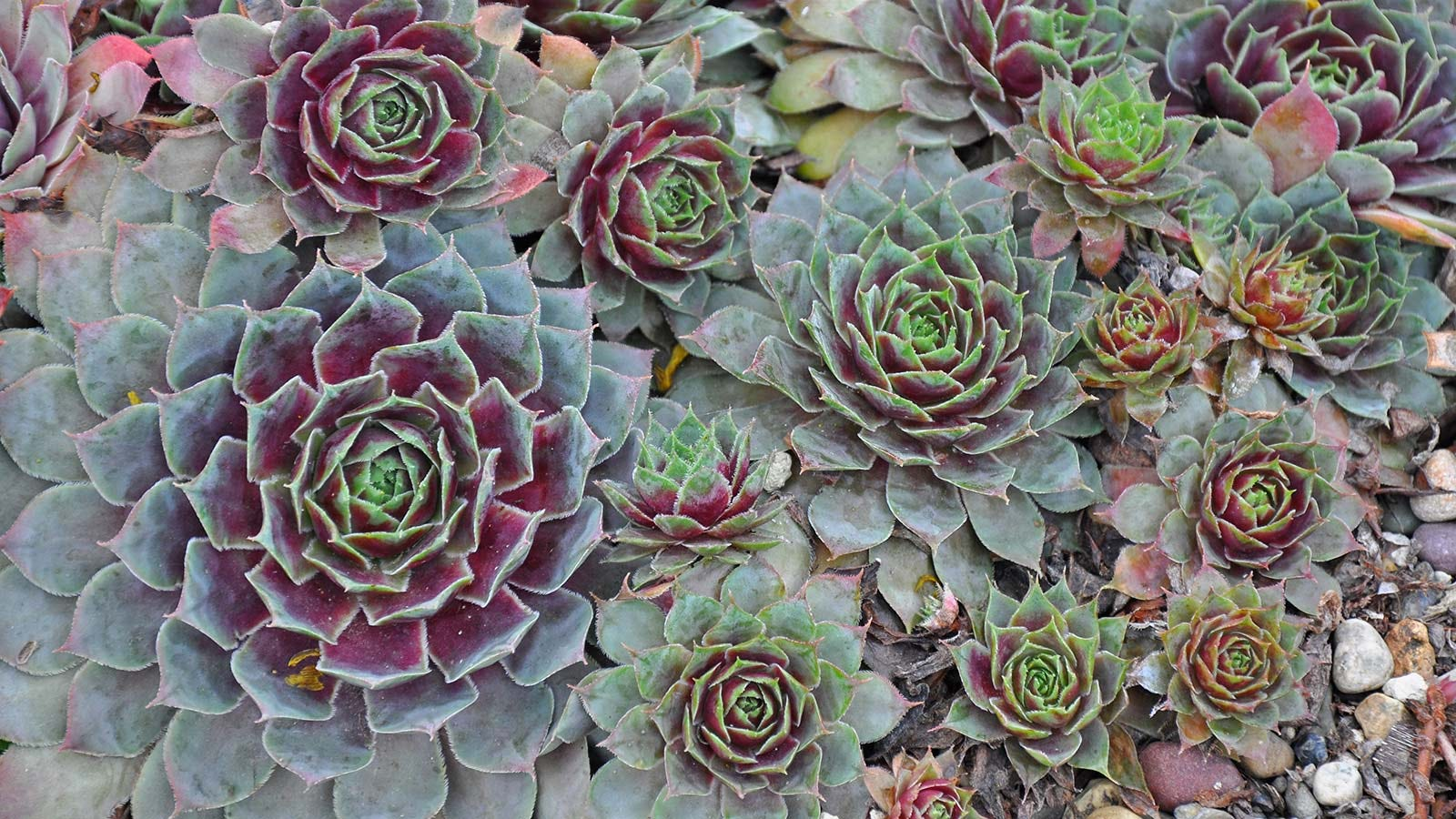 "Green and purple ""hen and chicks"" succulents."