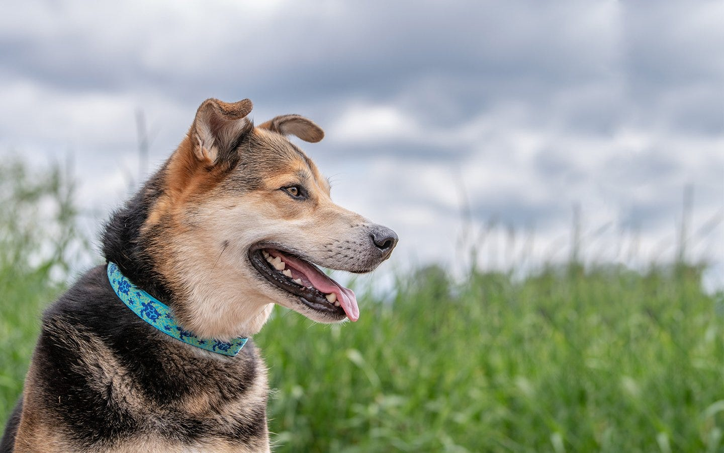 A dog sitting in a field, wearing a colorful study collar.