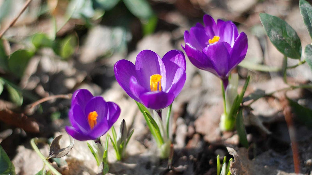 Three purple crocuses popping up in the early spring.