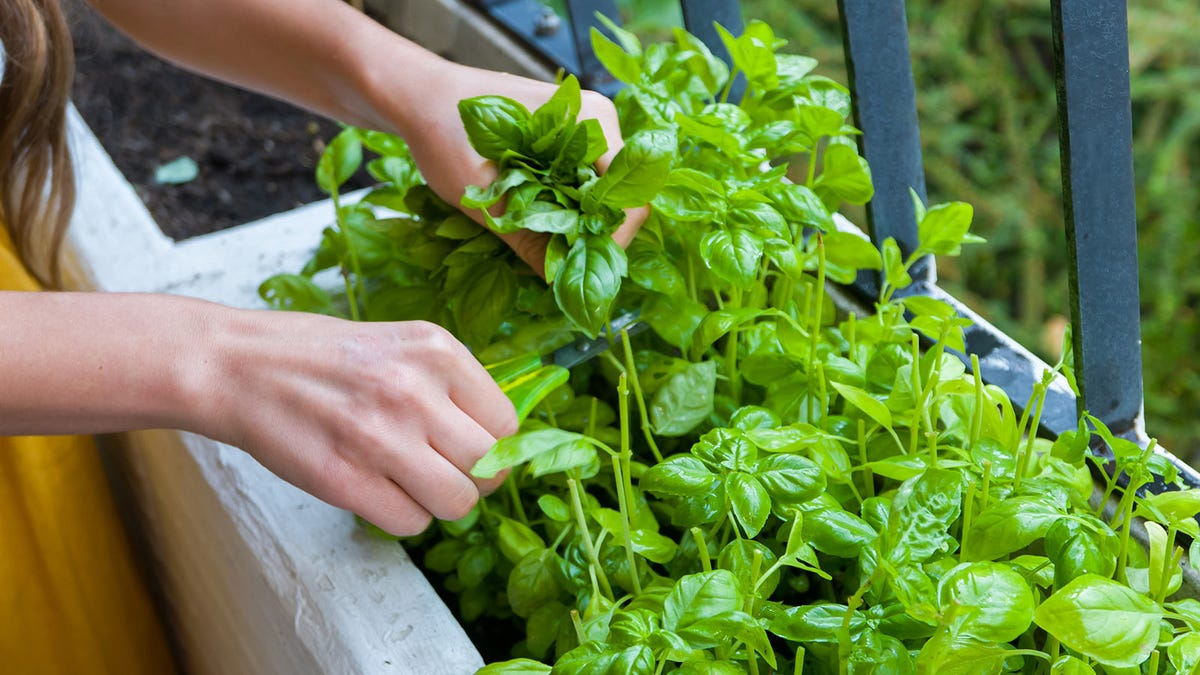 Woman cutting herbs from her garden with a pair of kitchen shears.