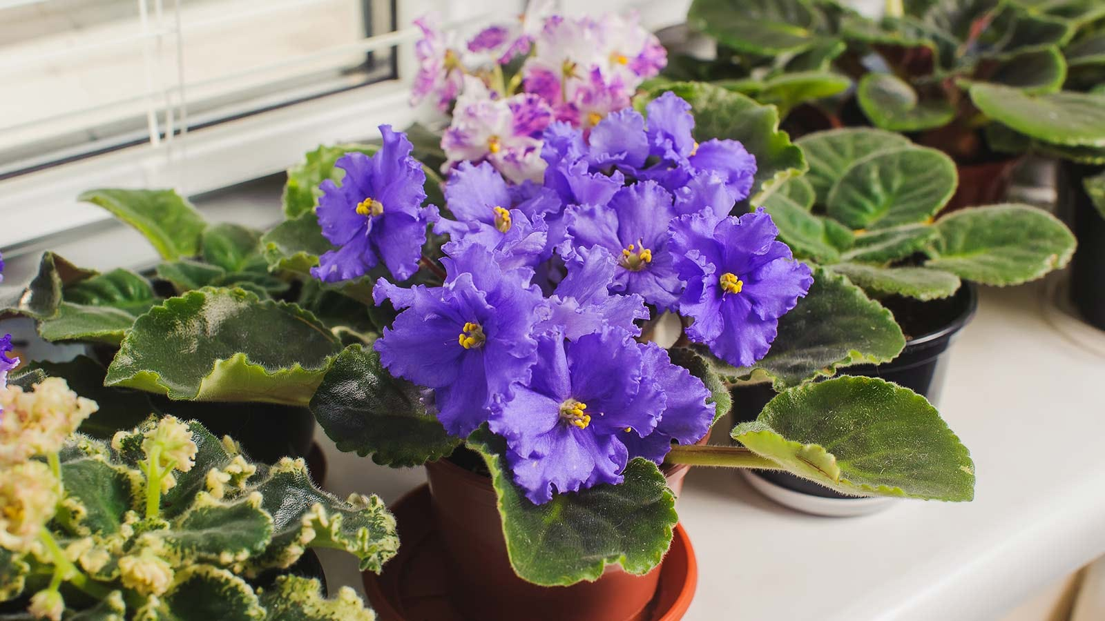 An African violet in bloom, sitting beside other houseplants.