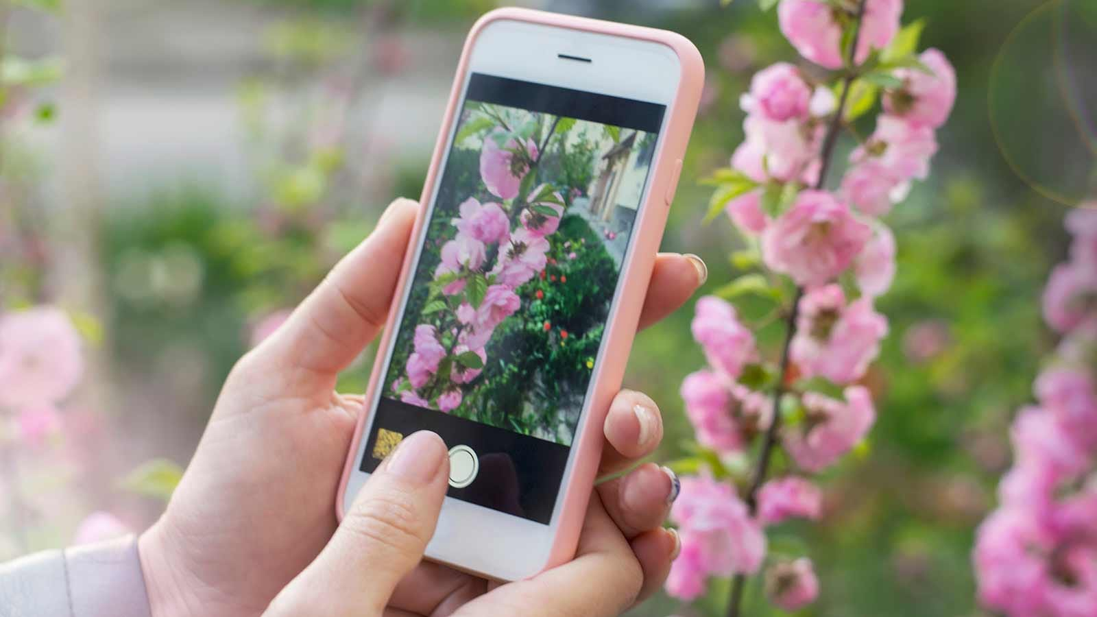 Someone taking a photo of pretty garden flowers with an iPhone.