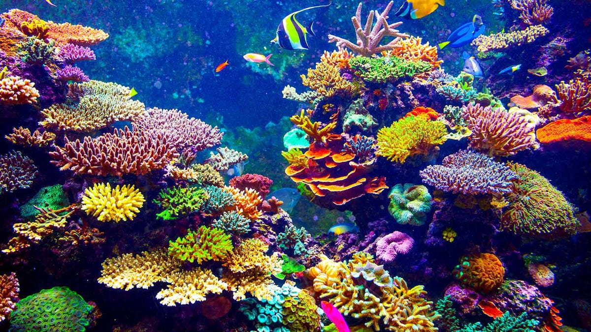 Beautiful tropical fish swimming in front of coral.