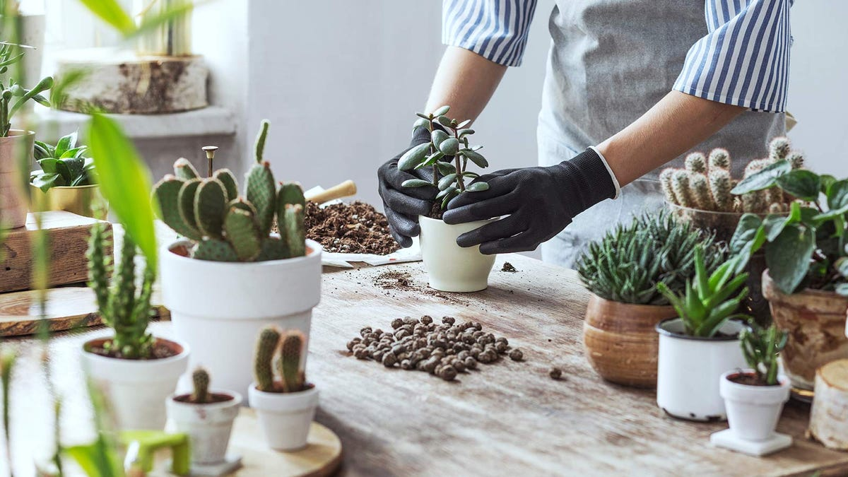 Person repotting a succulent on a workbench.