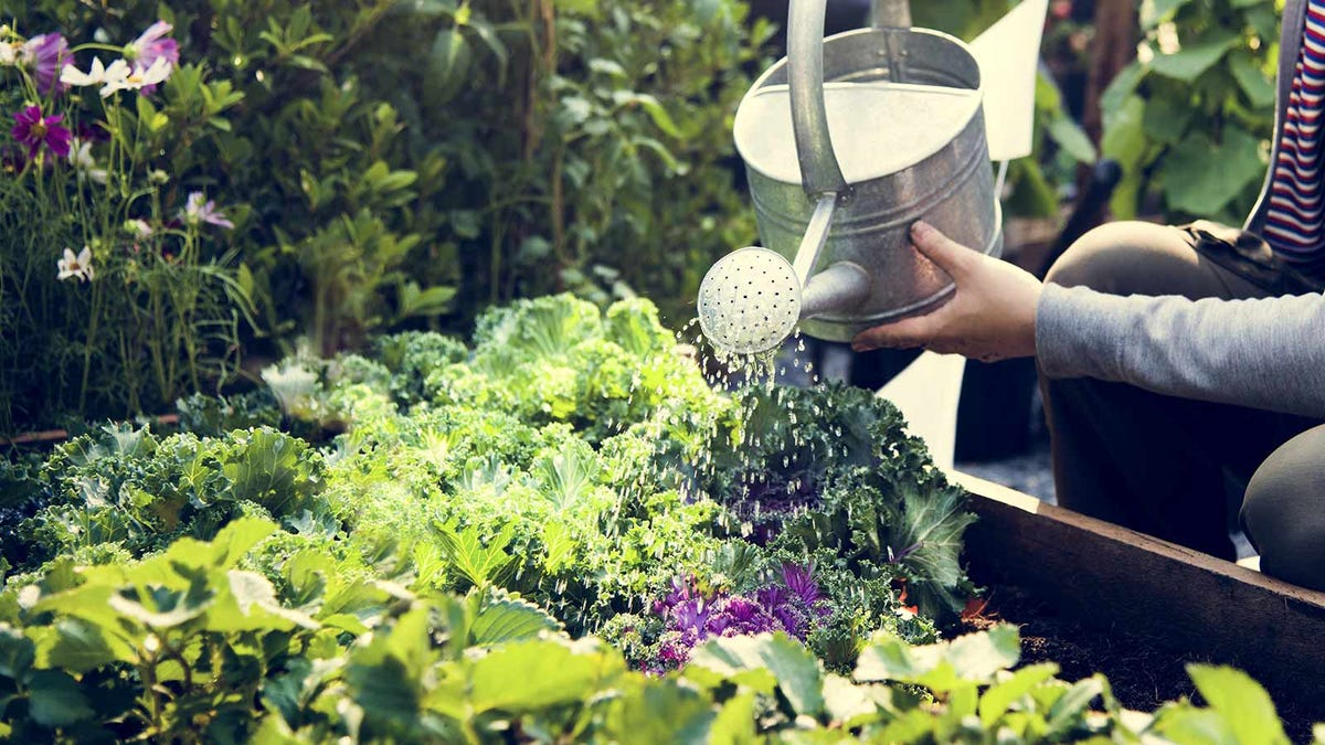 A woman watering plants in her garden with a traditional metal watering can.