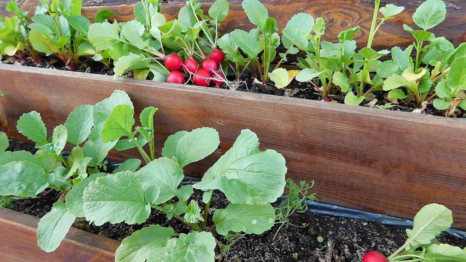 Radishes growing a wooden container.