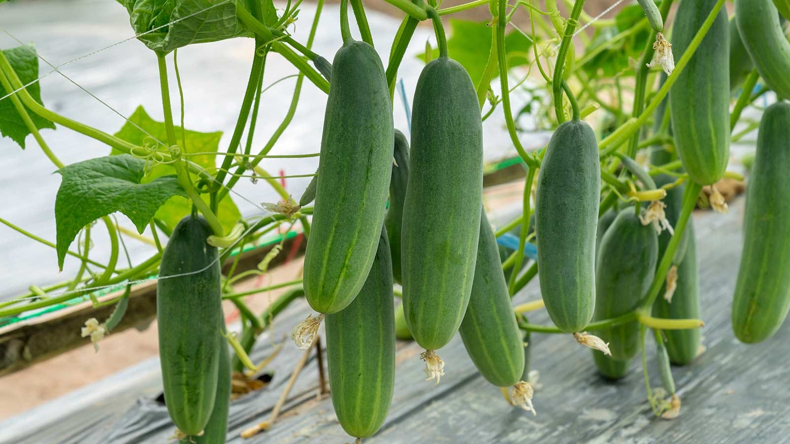Cucumbers, hanging off the railing of a deck down towards the planking.