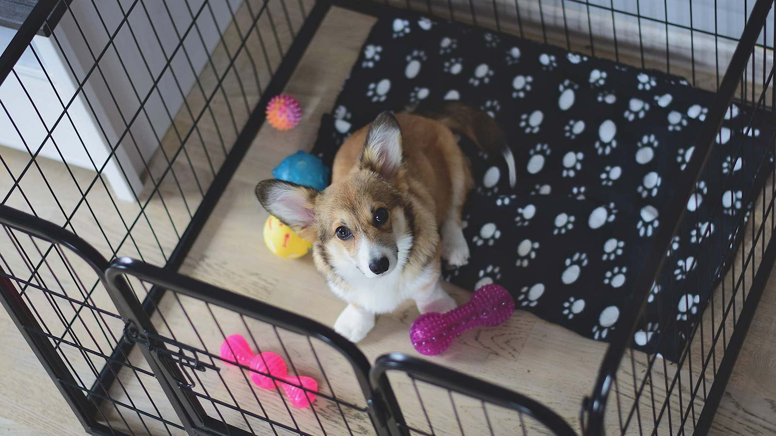 A Welsh corgi puppy in a pen surrounded by toys.