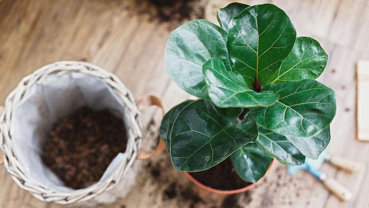 A mid-size fiddle leaf fig being re-potted.