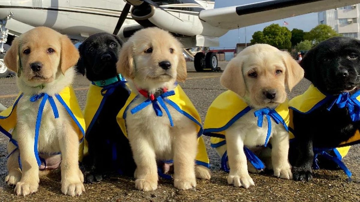 A group of labrador puppies stand in front of a plane.