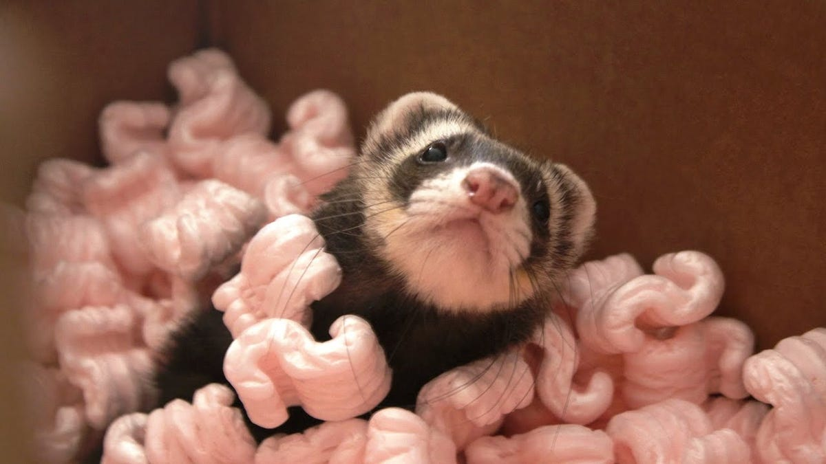 A ferret with traditional dark sable markings playing in a box of pink packing peanuts.