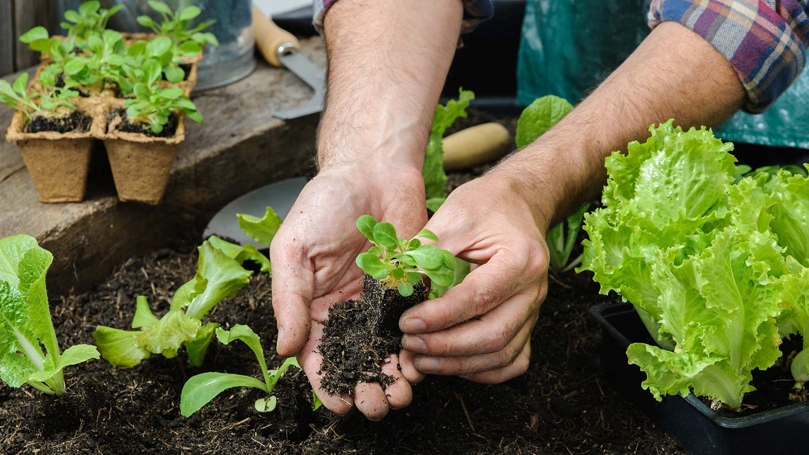 A man planting a lettuce seedling in an outdoor garden.