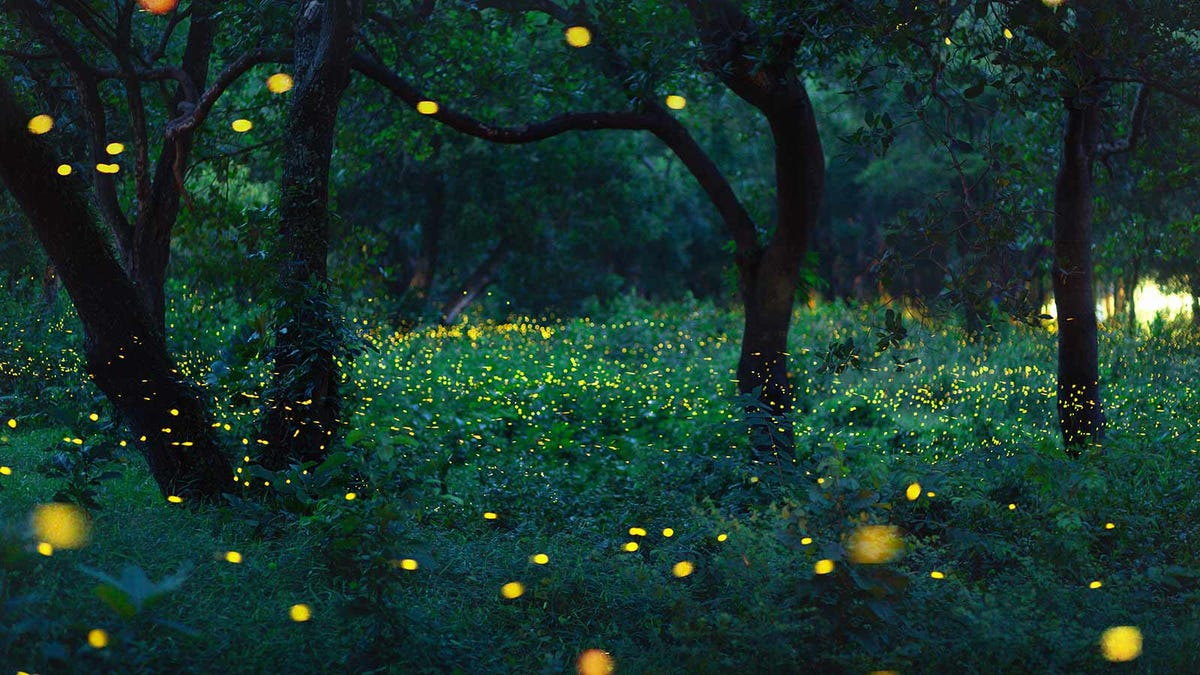 Fireflies glowing in a forest at dusk.