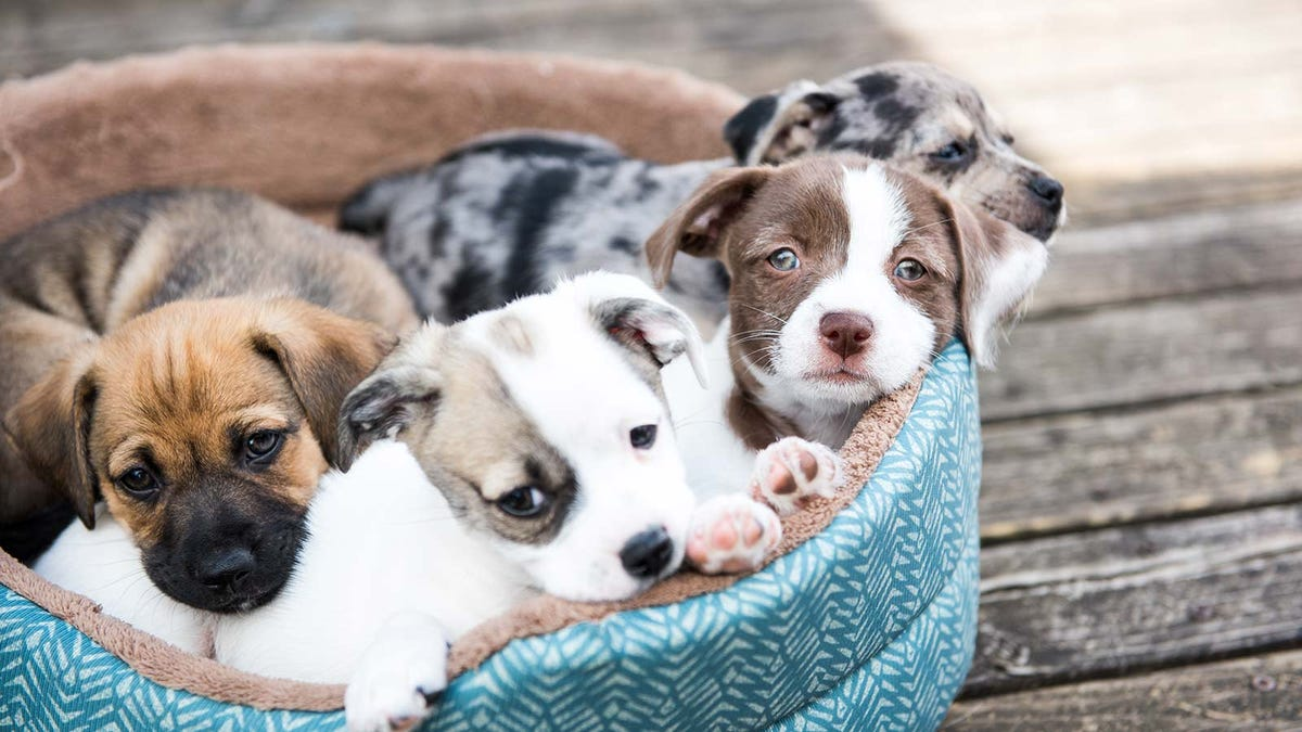 Four puppies in a pet bed.