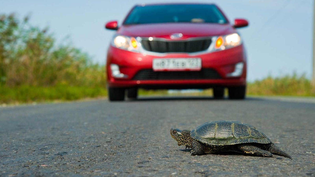 A turtle crossing the road in front of a red car.