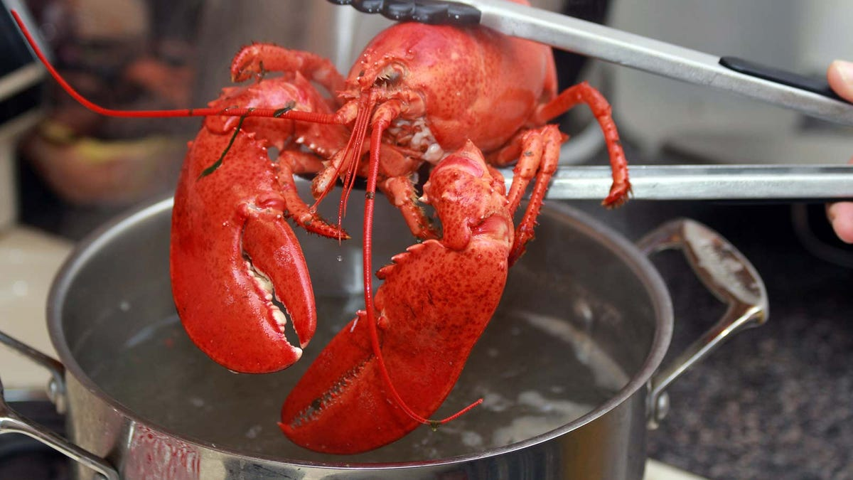 A chef lowering a lobster into a pot with tongs.