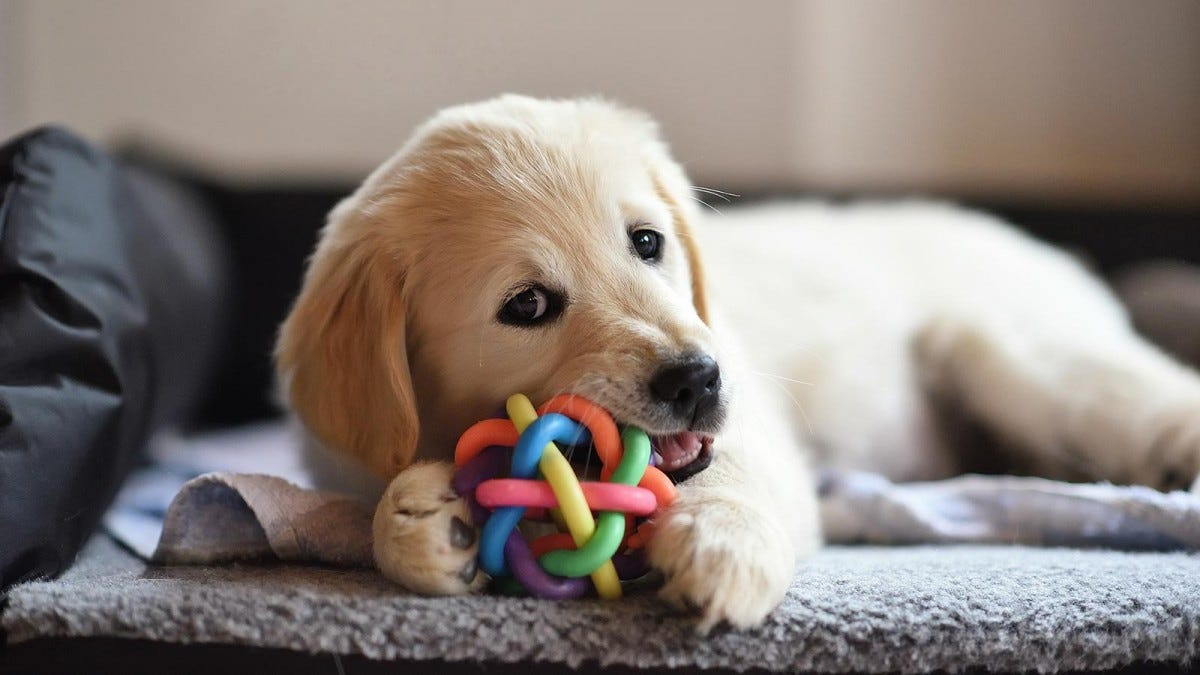 A golden lab puppy bites a ball on the floor.