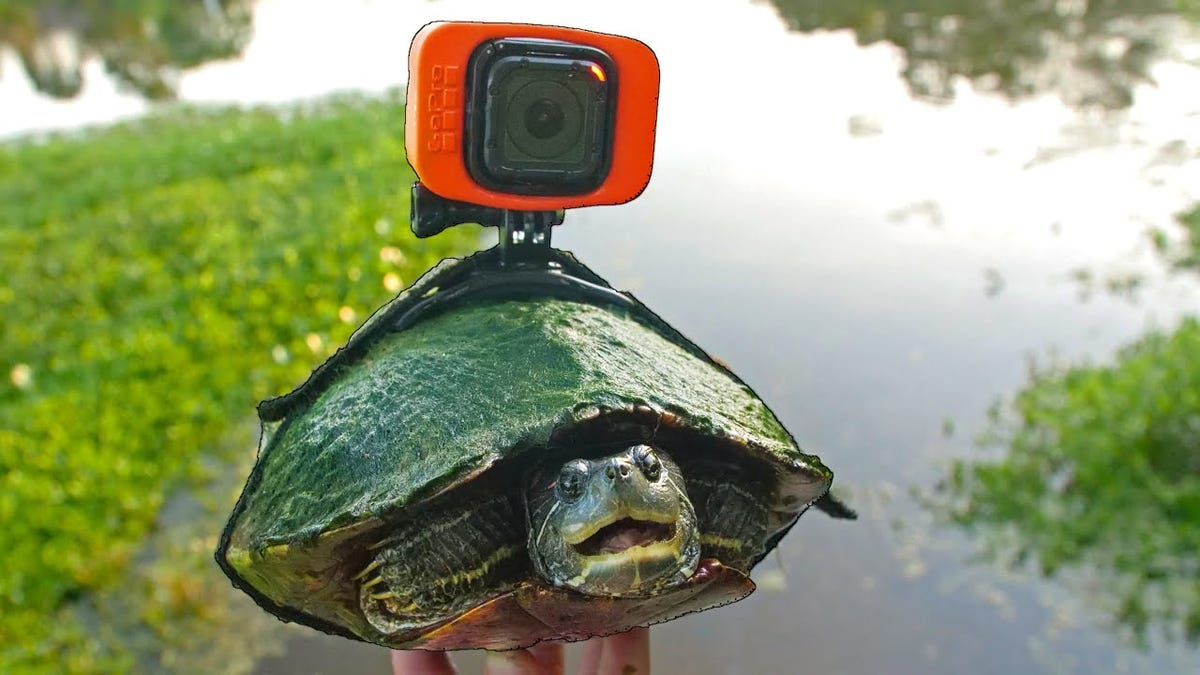 A turtle wearing a harness with a GoPro attached.