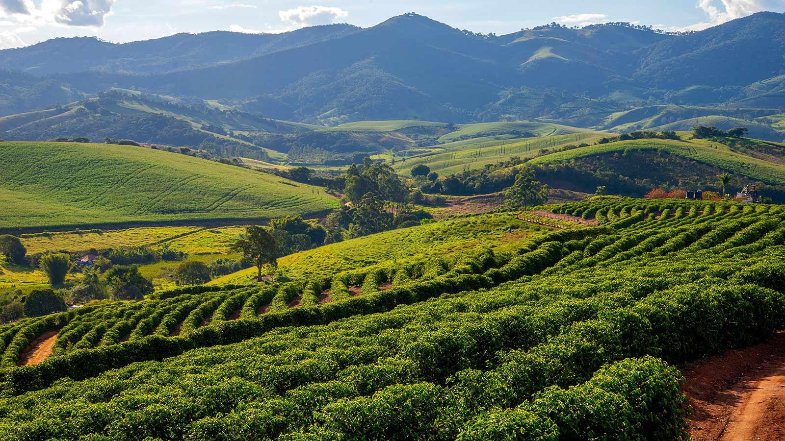 A Brazilian coffee plantation with rows of plants framed against distant mountains.