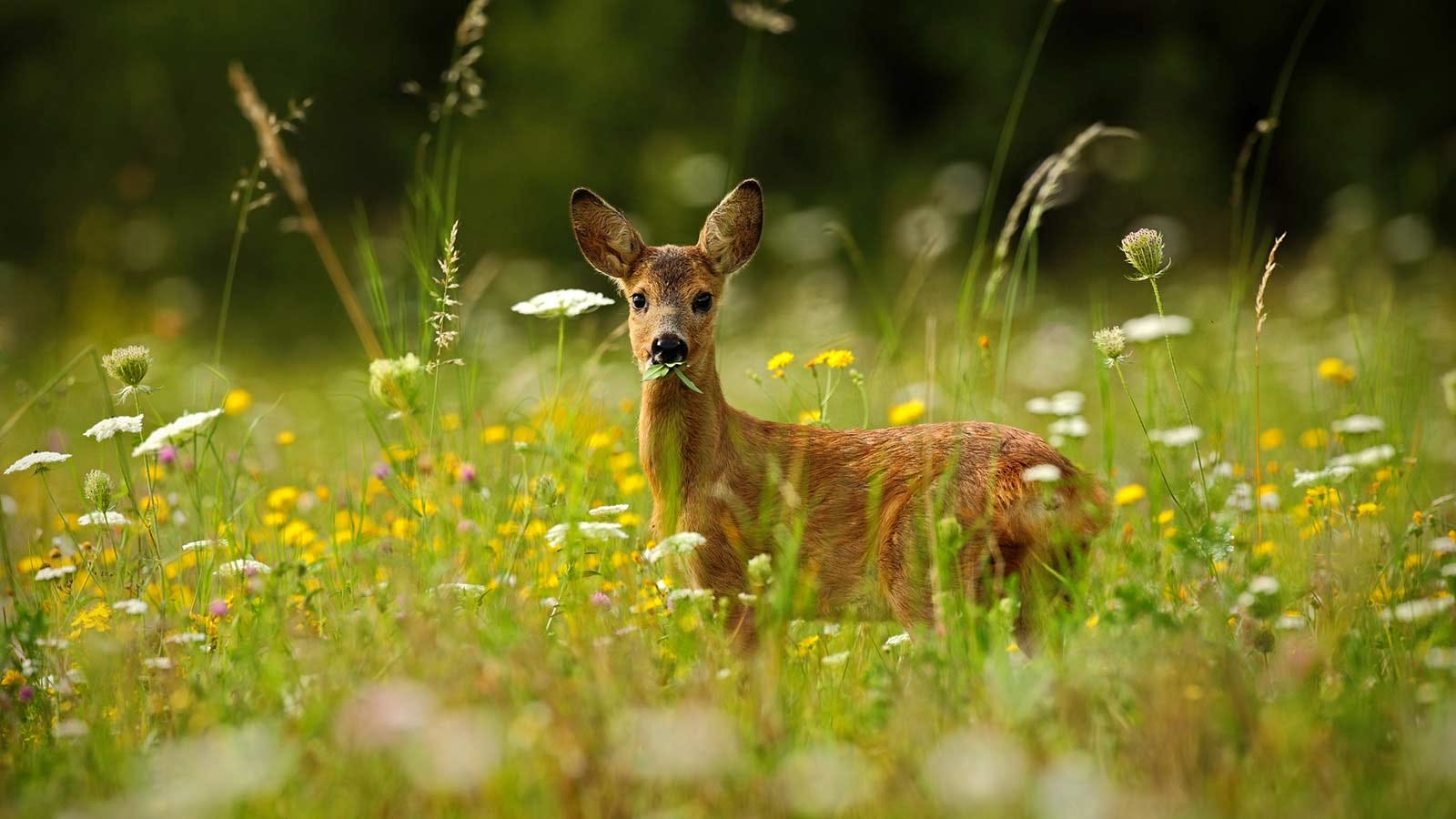 A deer standing among wildflowers, curiously looking at the photographer.