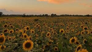 A Strawberry Farm Planted 2 Million Sunflowers to Bring Joy in 2020