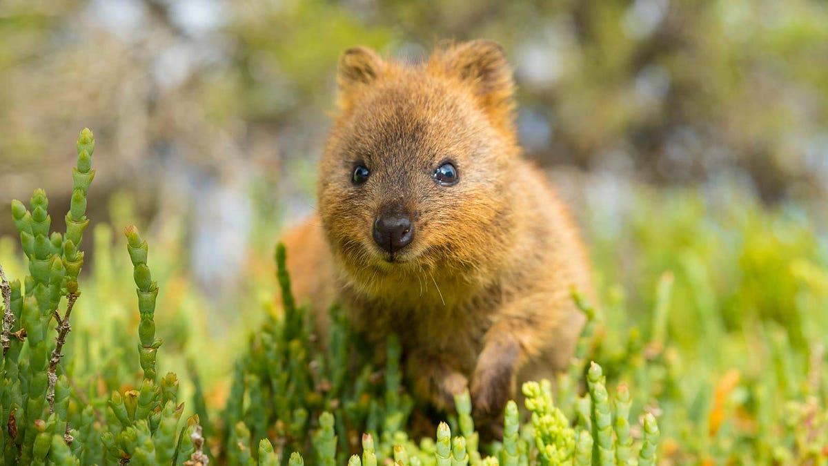 A Western Australian quokka, an adorable small furry mammal native to Australia.