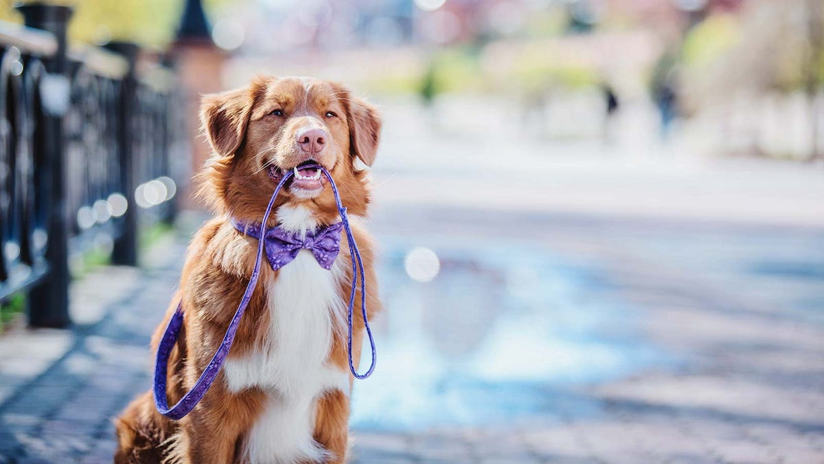 A dog at the park, wearing a bow tie and holding a leash in his mouth.