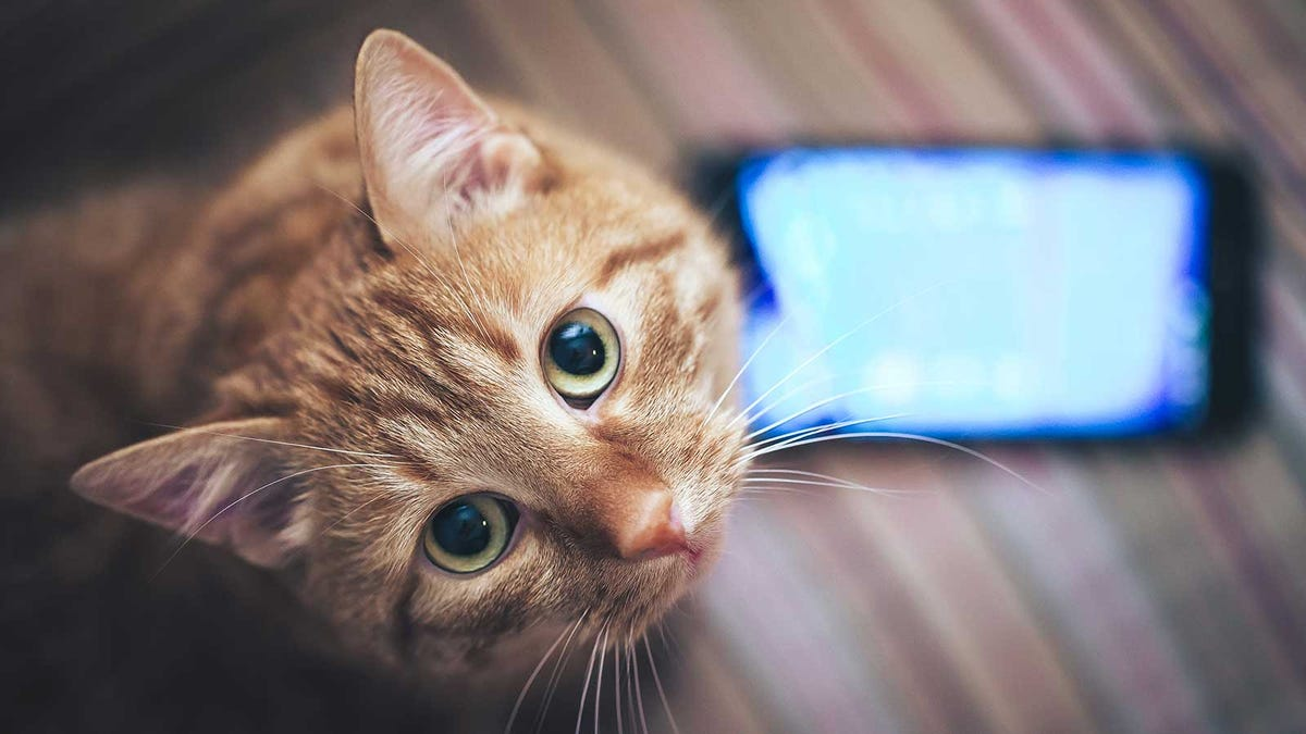 A ginger-colored cat looking up at the camera, standing next to a smartphone.