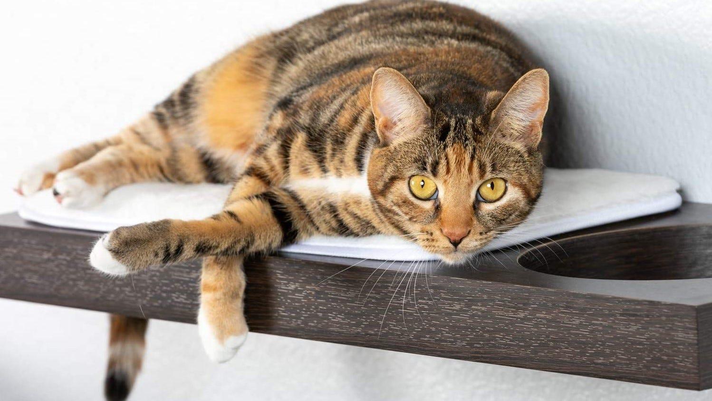 Cat lounging on a cat shelf.