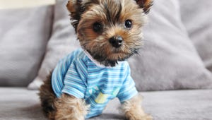 The Best Shirts for Big and Small Dogs