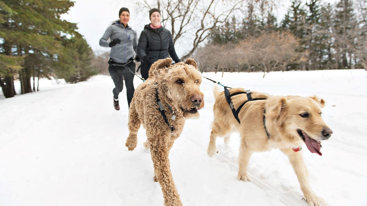 Two women running with a Golden Doodle and a Golden Retriever in Winter.