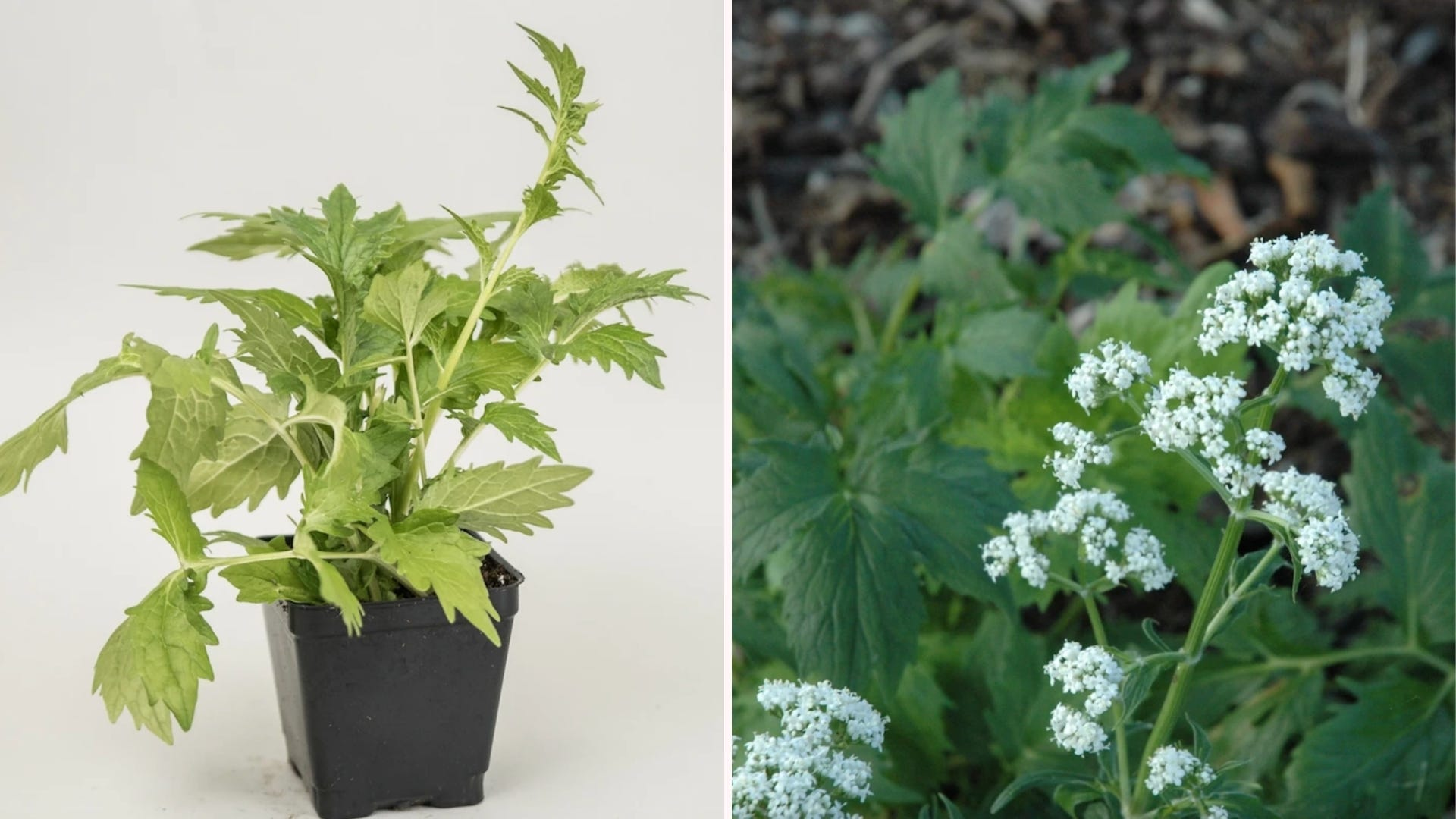 side by side photos of valerian plants