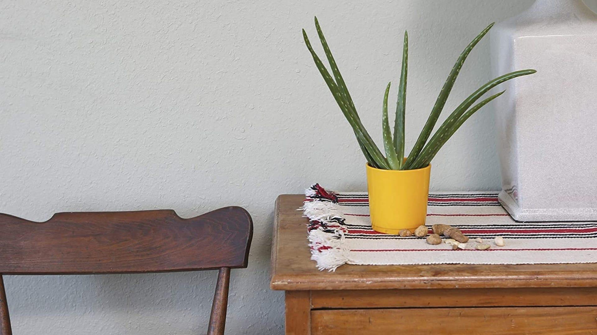 Aloe vera plant on table