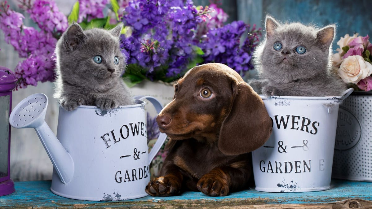 A brown Dachshund puppy lying between two watering cans with gray Scottish Fold kittens in them.