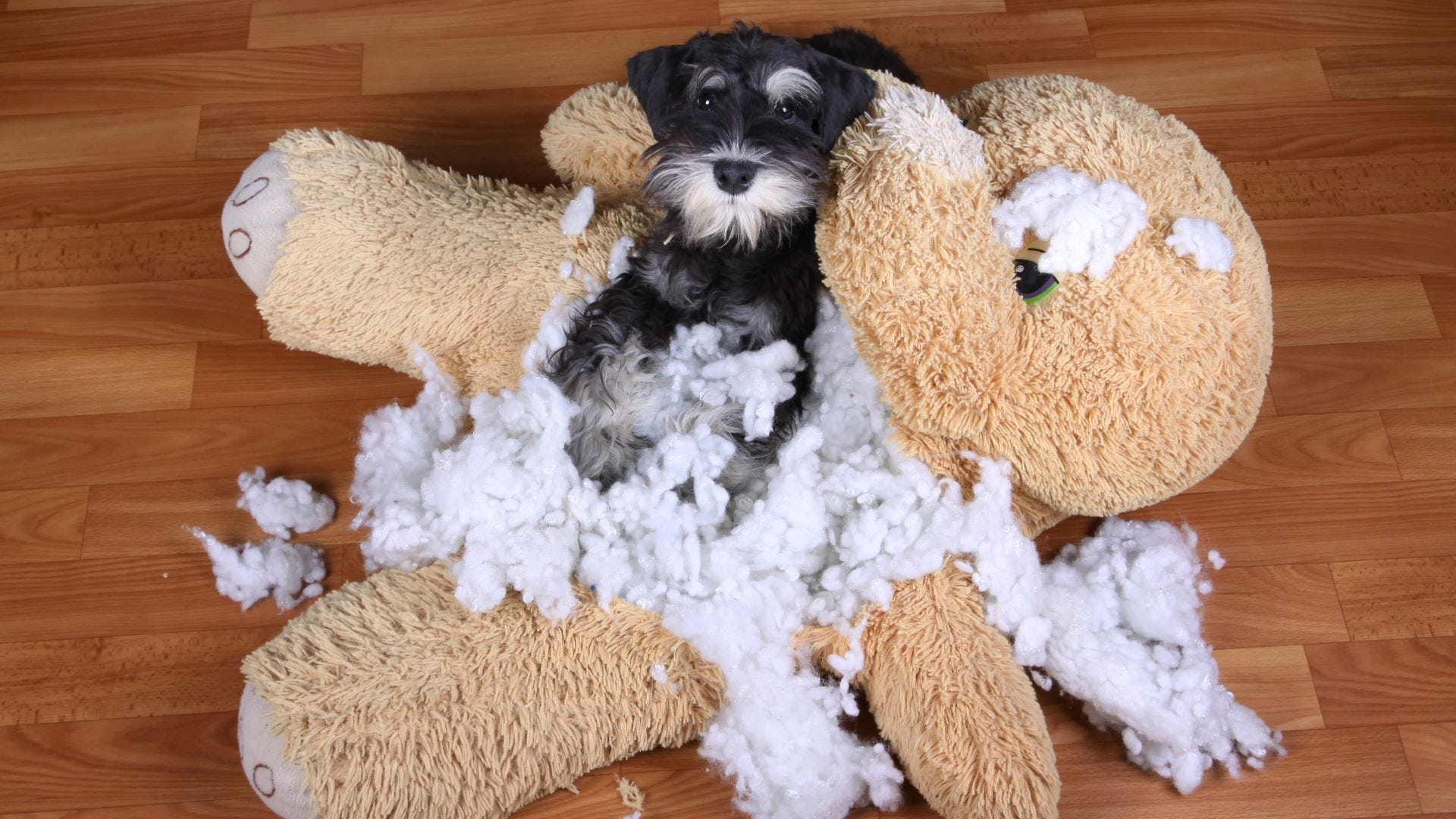 A Schnauzer dog lying in the middle of a destroyed plush toy.