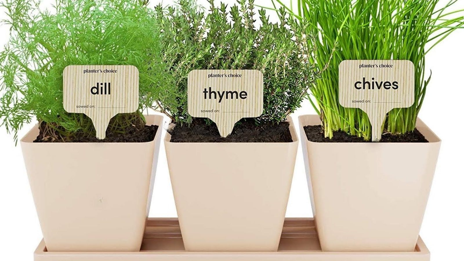 """Three white squared pots with green herbs growing. Each pot has a label stake: one reads """"dill,"""" the next """"thyme,"""" the last """"chives"""""""