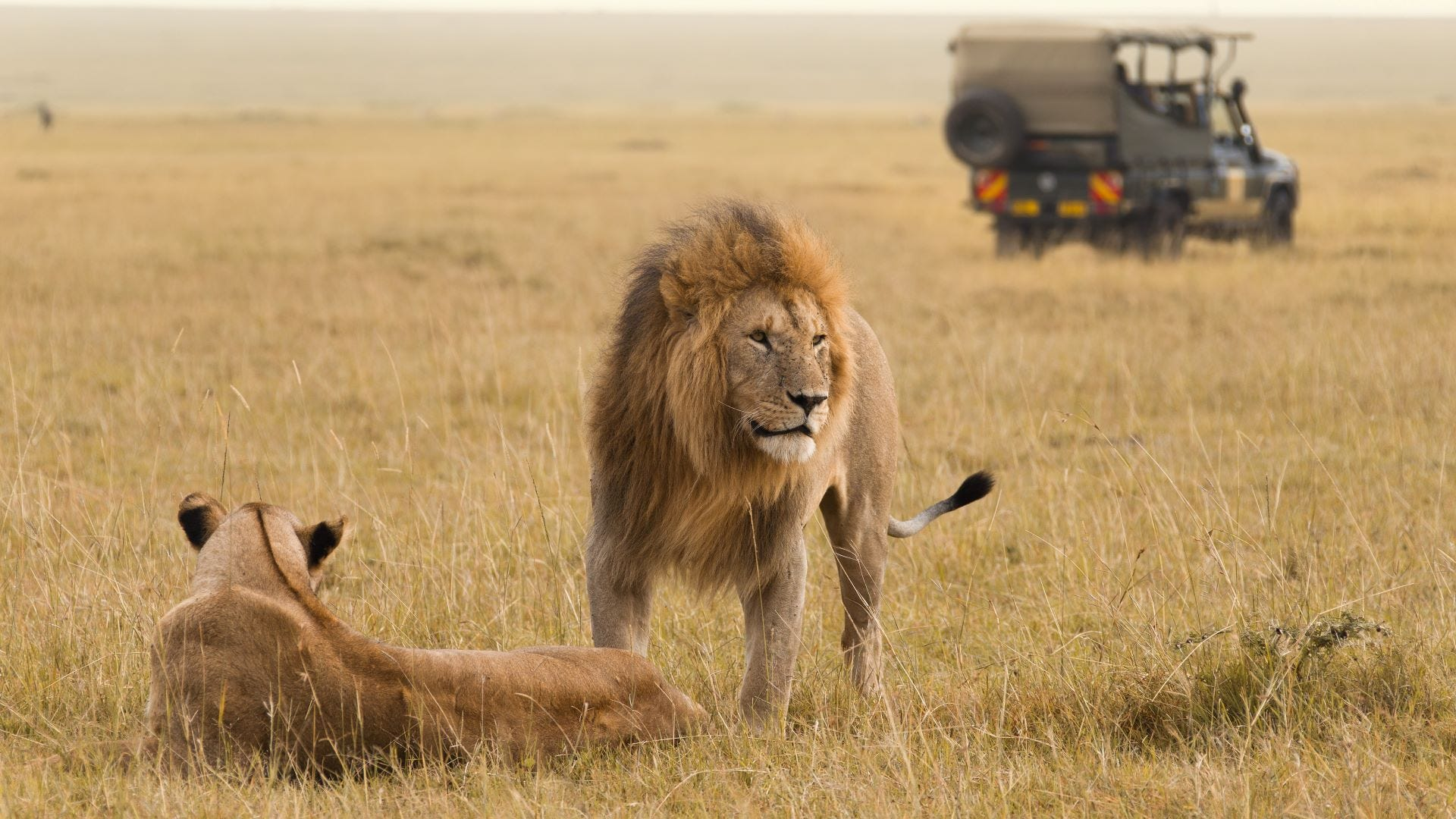 A male and female lion and a safari jeep in the background.