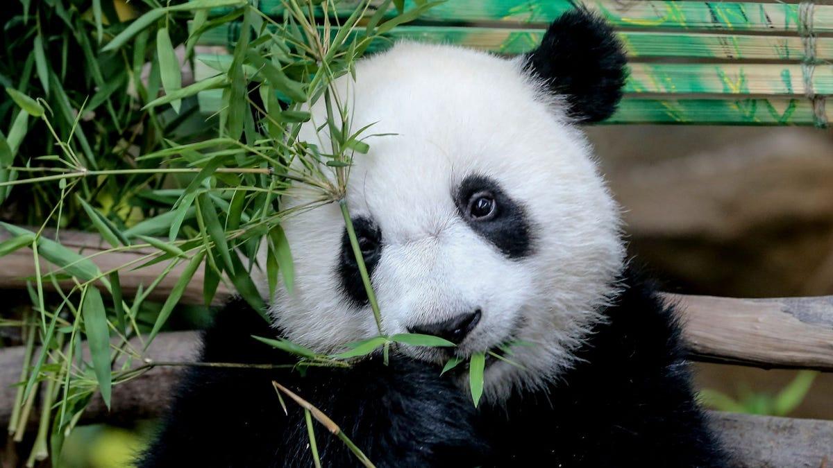 A panda cub eating bamboo leaves at the National Zoo.