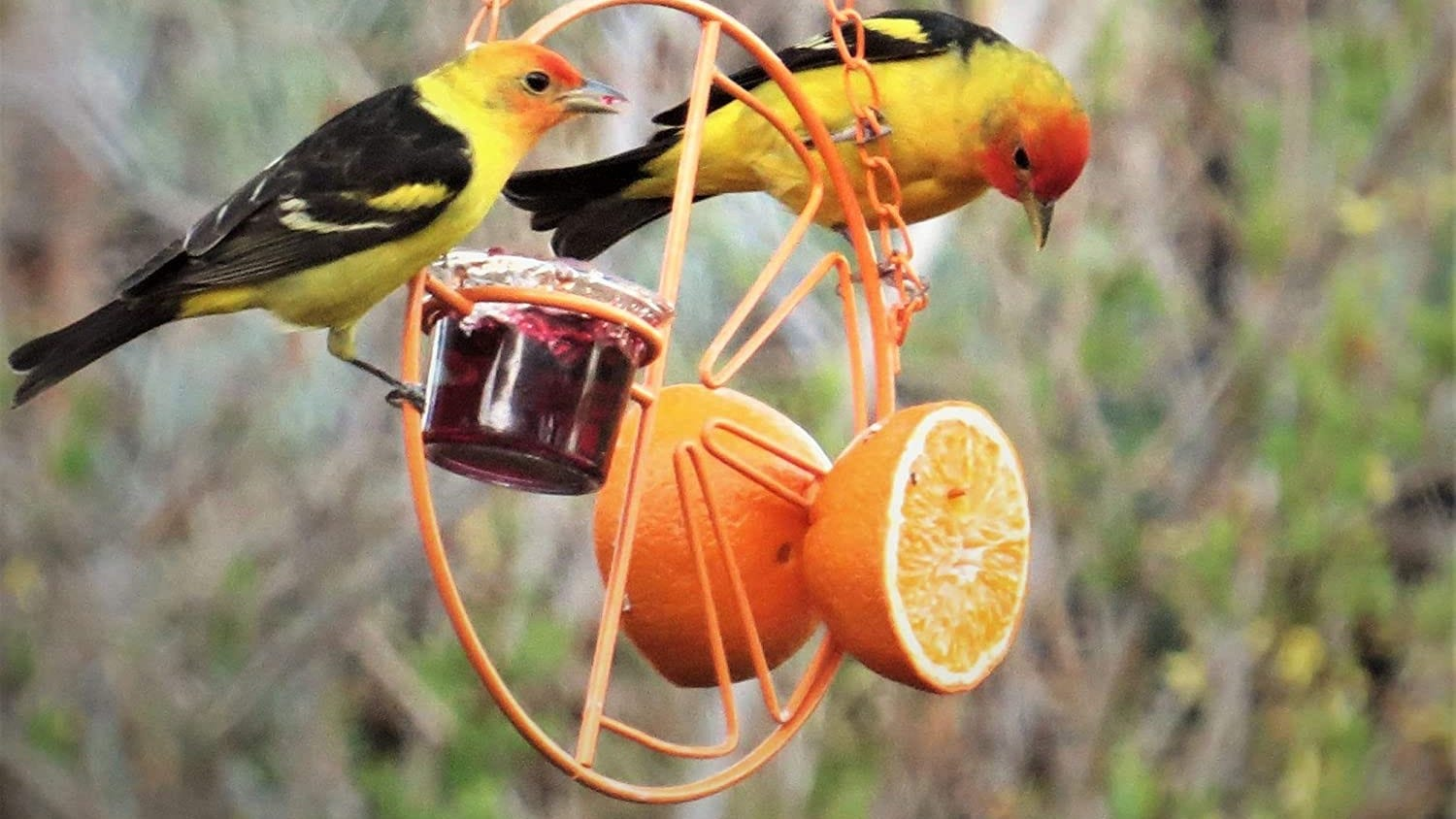 Orioles at a bird feeder with jelly and oranges.,